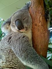 SleepyKoala